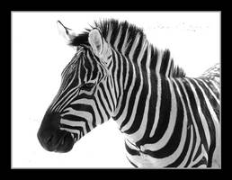 Zebra in BW by CaptBogart