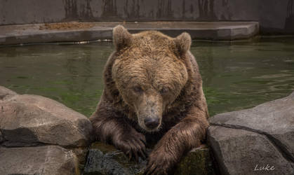 Seoul Zoo: Bear looking over the wall by Natures-Studio