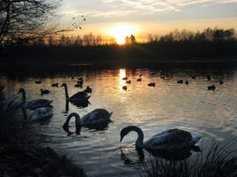Swans and sunset by feainne-stock
