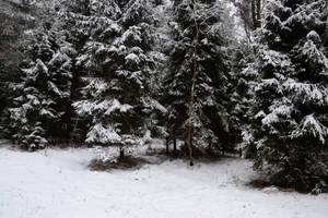 Winter Pines by feainne-stock