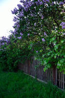 A Fence and Lilacs by feainne-stock