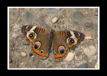 Butterfly on Stone by essence698