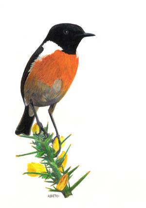 Saxicola torquata by Chotacabras