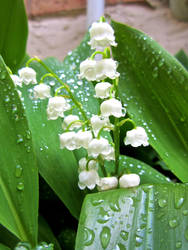 Lily of the valley by NightOwlDreamer
