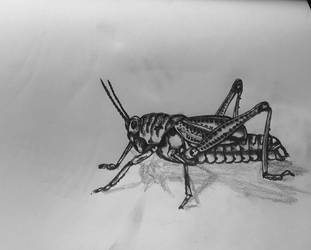 Cricket Sketch by ArtBeckyCommissions