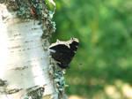 butterfly by HuskyProduction