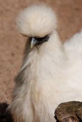 Pompom Chick by DeviantTeddine