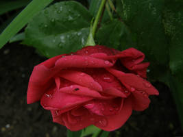 Rose Drops by Gwathiell