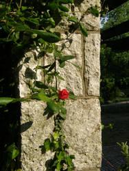 Arboretum - Roses 06 by Gwathiell