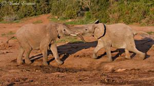 Elephant Shuffle by MorkelErasmus