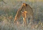 Savute Lion Cub by MorkelErasmus