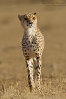 Stalking Cheetah by MorkelErasmus