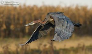 Goliath Heron Descent by MorkelErasmus