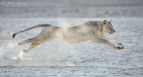Lion in Flight by MorkelErasmus