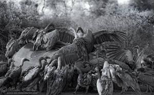 Vulture Buffet by MorkelErasmus