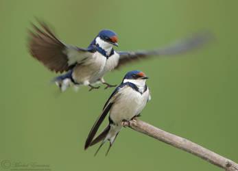 An Ambush of Swallows by MorkelErasmus
