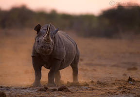 Proud Rhino by MorkelErasmus