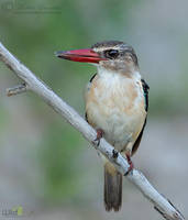 Brown-hooded Kingfisher by MorkelErasmus