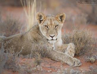 Resting Cub by MorkelErasmus