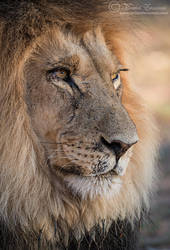 Study of a Kalahari King by MorkelErasmus
