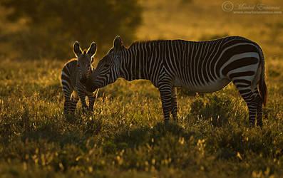 Tender Zebra Moment by MorkelErasmus