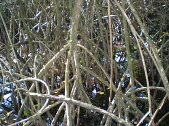 mangrove by krokette