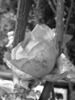 jailed rose by krokette