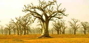 Baobabs... by ElGroom