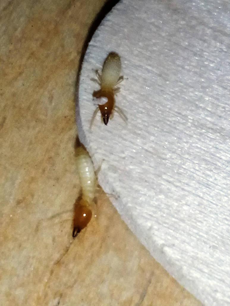 Subterranean termite soldier by kingrexy