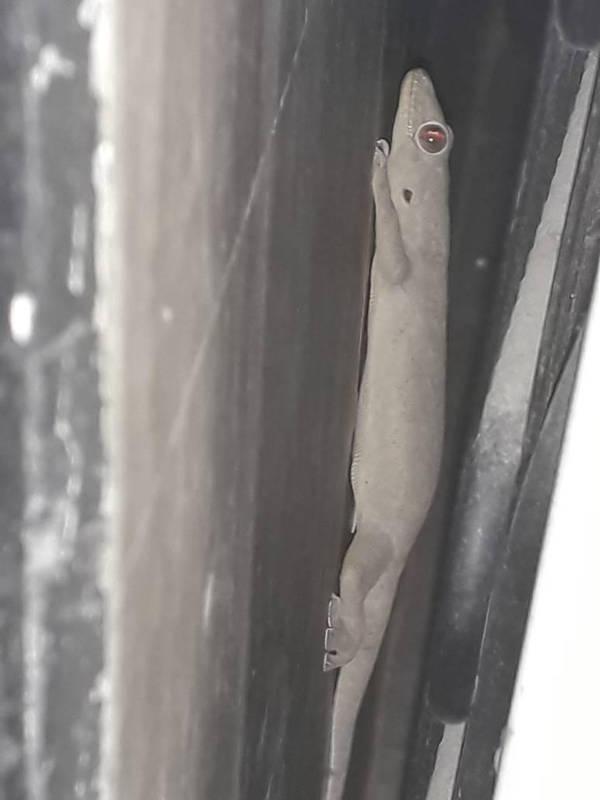 Asian House Lizard by kingrexy