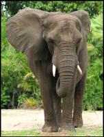 Elephant by x222943
