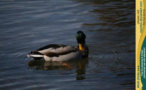 Mallard duck 4 by RoonToo