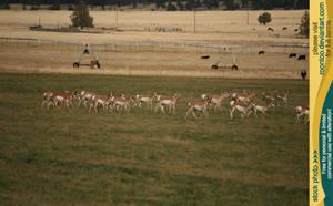Pronghorn herd 2 by RoonToo
