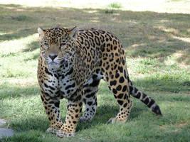 Animal stock- Jaguar 002 by Raistock