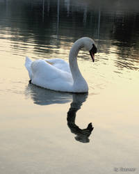 Swan at Sunset by Swevener