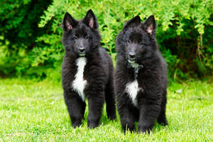 Belgian puppy sisters by blackmaster111