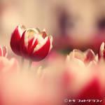 Tulip by WindyLife