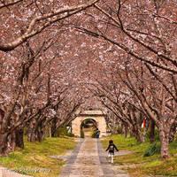 Sakura Arch by WindyLife