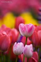 Tulip V by WindyLife