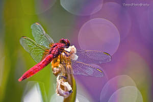 Red Dragonfly by WindyLife