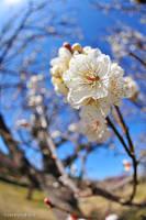 Japanese apricot IV by WindyLife