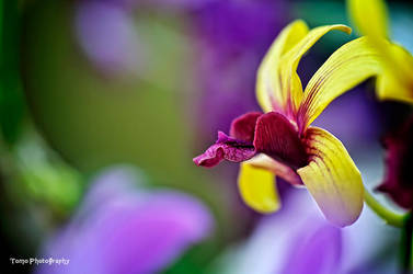 Orchid by WindyLife