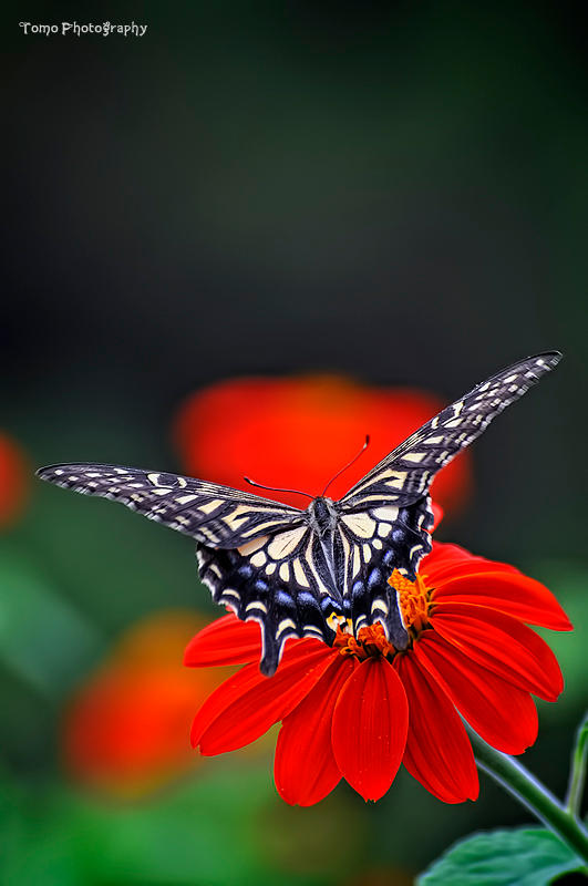 Swallowtail by WindyLife