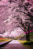 Sakura Arch by WindyLife