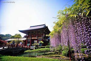 Wisteria in Yutoku Inari Shrine by WindyLife