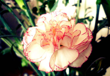 White and Pink Carnation by Emmabro14