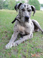 Great Dane stock 7 by SigarniStock