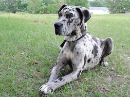 Great Dane stock 8 by SigarniStock