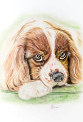 Cavalier King Charles Spaniel 1 by EliSovka