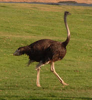 ostrich by Bura3-STOCK